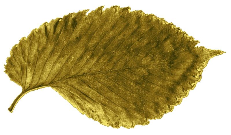 Złoty liść wiązu