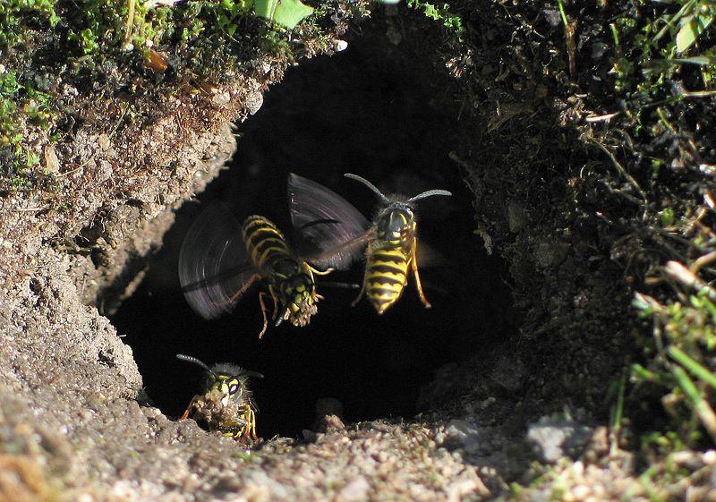 Osy  rozbudowywujące swoje podziemne gniazdo; foto: Soebe/ Wikimedia Commons
