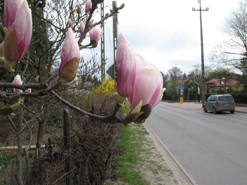 Magnolia przy Kościelnej, foto: RS